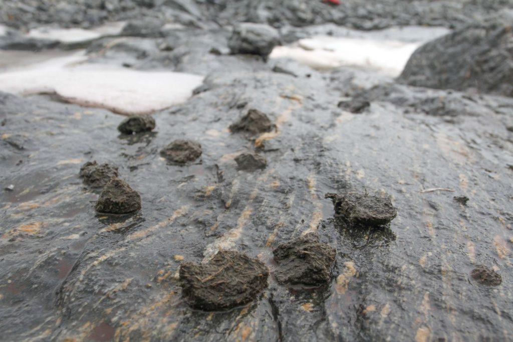 Ferdsel - rester 1000 år gammel hestemøkk i fjellpasset på Lendbreen