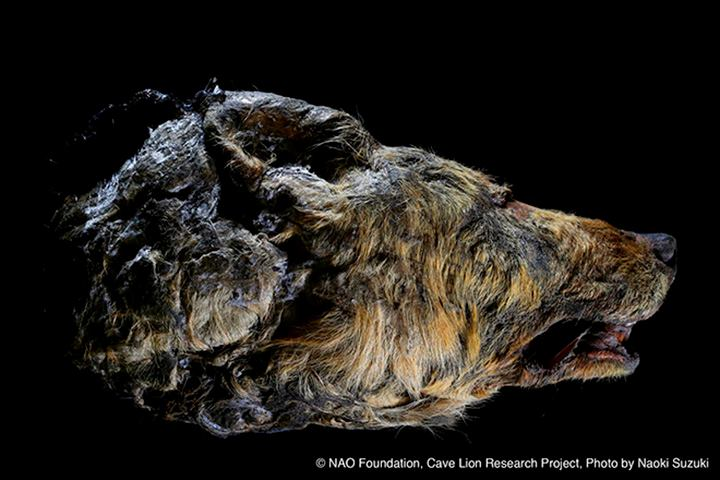 The head of an Ice Age wolf, found in the Siberian permafrost ice.